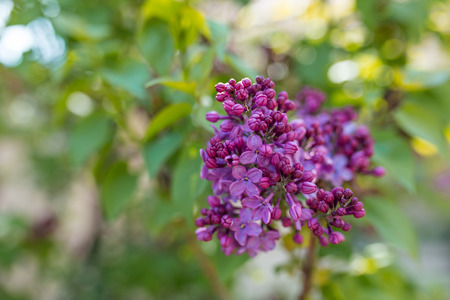 Macro image of spring lilac violet flowers, floral background. Stock Photo