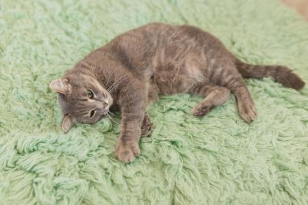 Humorous photo of grey cat sleeping on green carpet, sleepy cat, domestic kitten, funny lazy dreaming cat.