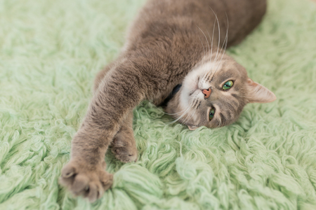 Humorous photo of grey cat sleeping on green carpet, sleepy cat, domestic kitten, funny lazy dreaming cat.