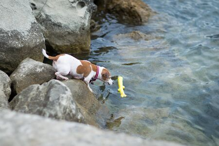 Jack russell terrier dog trying to get a toy from the sea. Dog on a beach.