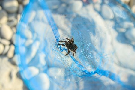 small black crab in a blue net. Close-up.