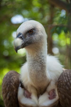 griffon: Portrait of a Griffon Vulture Stock Photo
