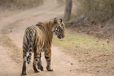 glancing: A glancing tiger
