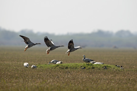 wintering: Barheaded Geese