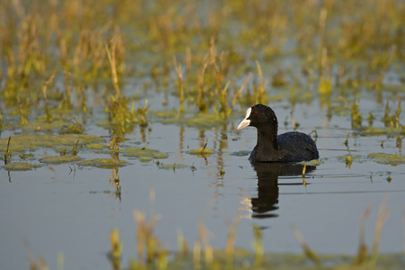 coot: Common coot Stock Photo