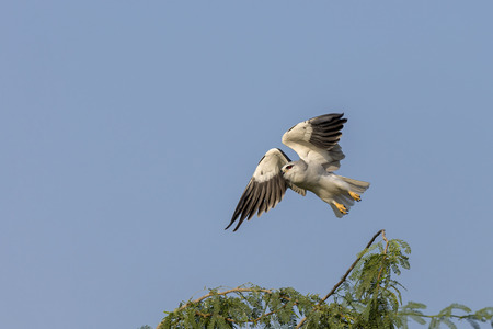 winged: A Black Winged Kite taking off Stock Photo