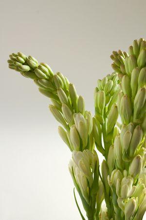 チューベ花および芽の束