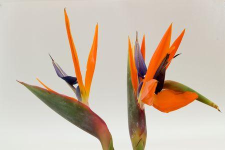 Two Bird of Paradise flowers isolated photo