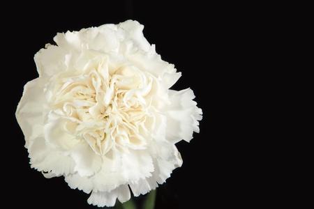 黒の背景の白いカーネーションの花のクローズ アップ