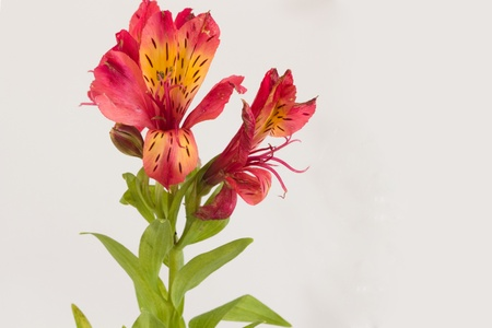 Red Alstroemeria Stem with flowers Stock Photo - 8306015