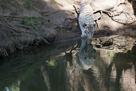 white tiger and reflection Stock Photo - 8306025