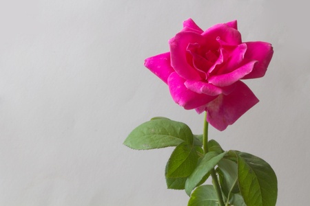 Wild rose stem with pink flower Stock Photo - 8404775