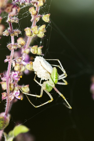 tulsi: Garden spider with eggsac attched to flower spike of tulsi (Indian holy basil) plant
