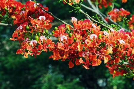Royal Poinciana branch laden with flowers photo