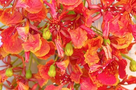 Royal Poinciana Flowers closeup photo