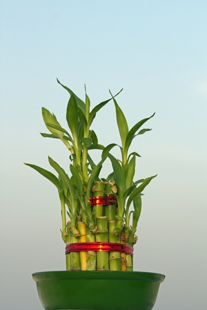 Lucky bamboo (Dracaena sanderiana) against a  sky blue background photo