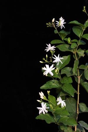 ジャスミン (ソケイ auriculatum) 茎葉と花 写真素材