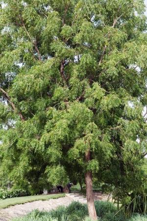 ニーム (インドセンダン) の木 写真素材