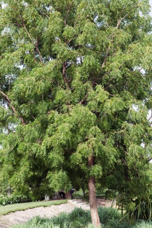 neem: Neem (Azadirachta indica) tree