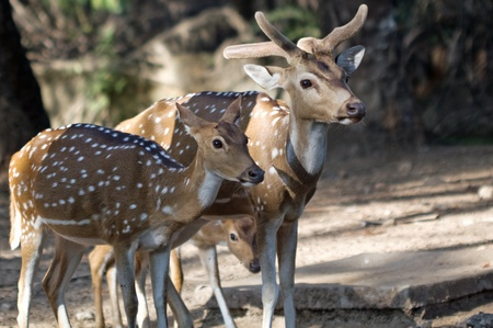 deer family watching Stock Photo - 12183921