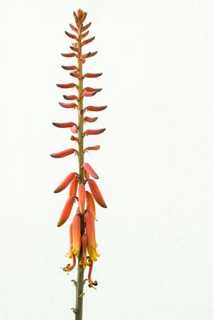 aloe vera flowers: Aloe Vera Flowers