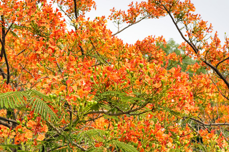 laden: Royal Poinciana Gulmohar tree laden with orange flowers