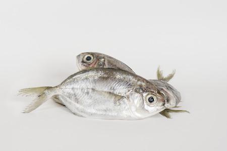 lactarius: False trevally fish Lactarius lactarius