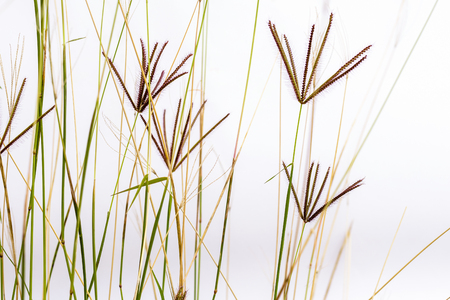 bahama: Bermuda grass with flowers on a white background