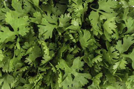 coriandrum sativum: Cilantro or coriander leaves (Coriandrum sativum) leaves closeup background