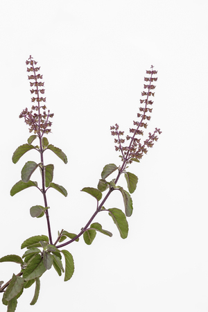 tulasi: Holy basil (tulasi) sprig with leaves and infloresence