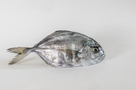 false: Single false trevally fish