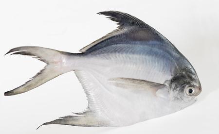 単一の白または銀ハマシマガツオ魚 写真素材