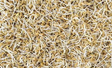 Fenugreek (Trigonella foenum-graecum) sprouts background