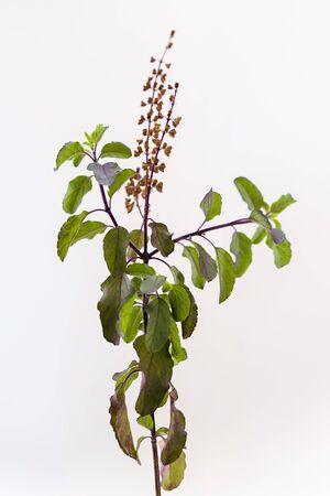 Holy basil or Krishna Tulasi (Ocimum tenuiflorum) sprig on a white background 写真素材