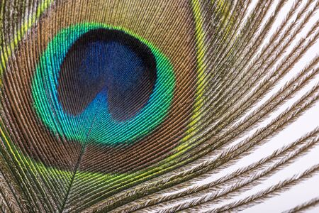 Closeup view of Peacock feather