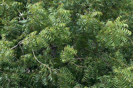 Top view of neem tree
