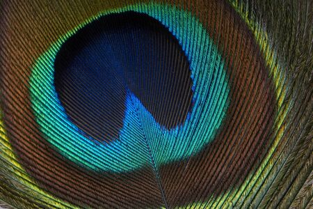 Closeup (macro) shot of Peacock feather