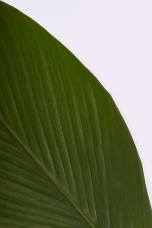 Closeup view of turmeric leaf on a white background 写真素材