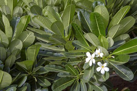 Frangipani or Plumeria (Naag Champa) plant with flowers