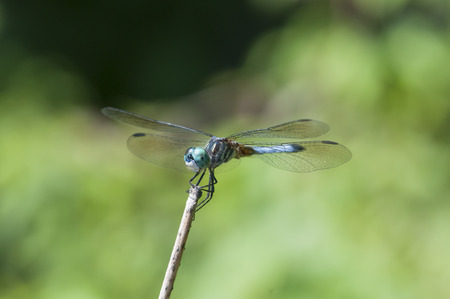 Blue dasher dragonflies rely on speed to escape predators Reklamní fotografie
