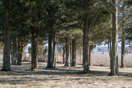 cedars: Grove of cedars near harbor on Buzzards Bay