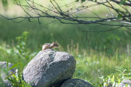 ardilla: Chipmunk permanece vigilante, mientras que tomando el sol en una roca caliente Foto de archivo