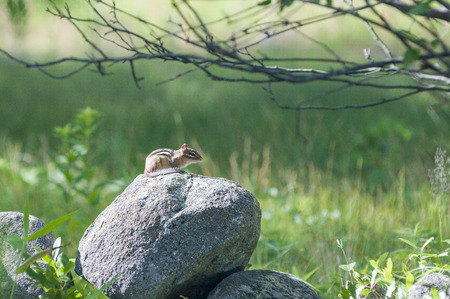 sunning: Chipmunk remains watchful while sunning itself on a warm rock Stock Photo