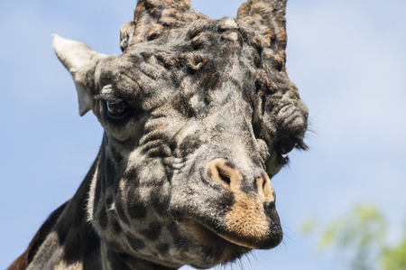 Curious giraffe at the zoo