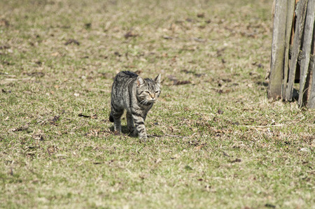 felid: House cat moves purposefully across yard Stock Photo