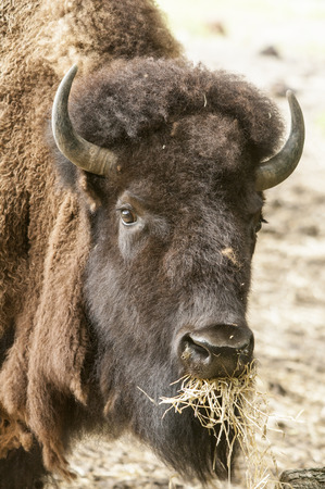 roger: American Bison aka American Buffalo munches on some hay at Roger Williams Park zoo Stock Photo