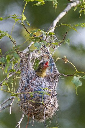 oriole: Baltimore Oriole nestling making its demands known