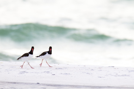pinellas: American Oystercatcher pair steppin out on the beach