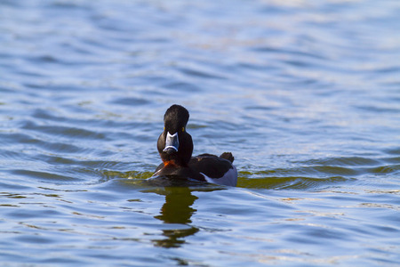 dabbling: Ring-necked Duck Aythya collaris head-on view
