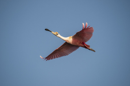 Roseate Spoonbill in flight at Alafia Banks Imagens